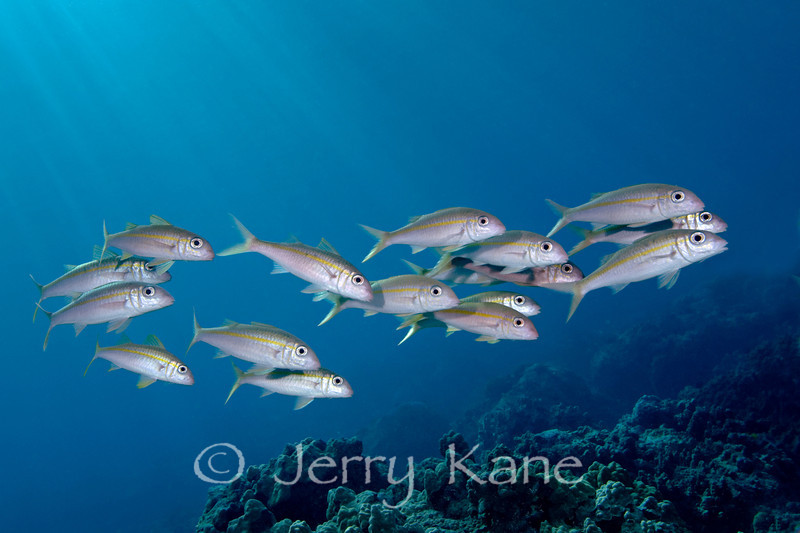 Yellowfin Goatfish (mulloidichthys vanicolensis) - Honokohau, Big Island, Hawaii