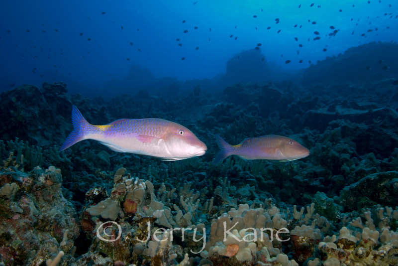 Blue Goatfish (Parupeneus cyclostomus) - Honokohau, Big Island, Hawaii