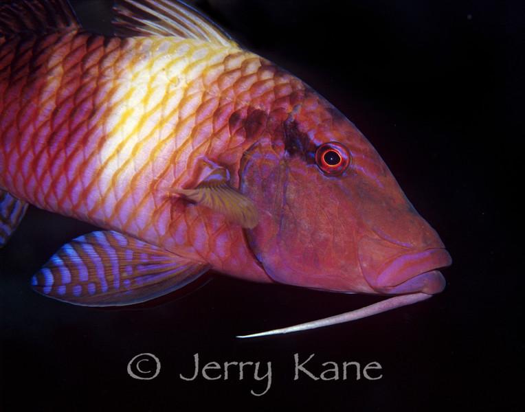 Manybar Goatfish - (Parupeneus multifasciatus) - Pupukea, Oahu, Hawaii
