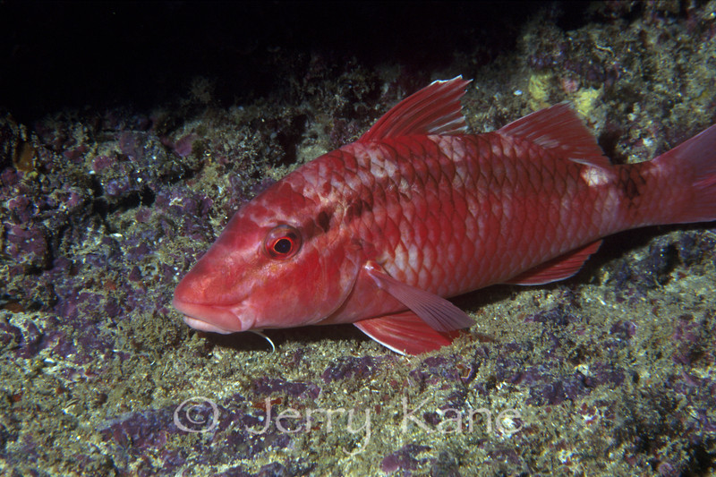 Whitesaddle Goatfish (Parupeneus porphyreus) - Kahe Point, Oahu, Hawaii