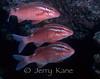 Whitesaddle Goatfish - (Parupeneus porphyreus) - Pupukea, Oahu, Hawaii