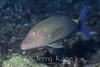 Blue Goatfish (Parupeneus cyclostomus) - Kahe Point, Oahu, Hawaii