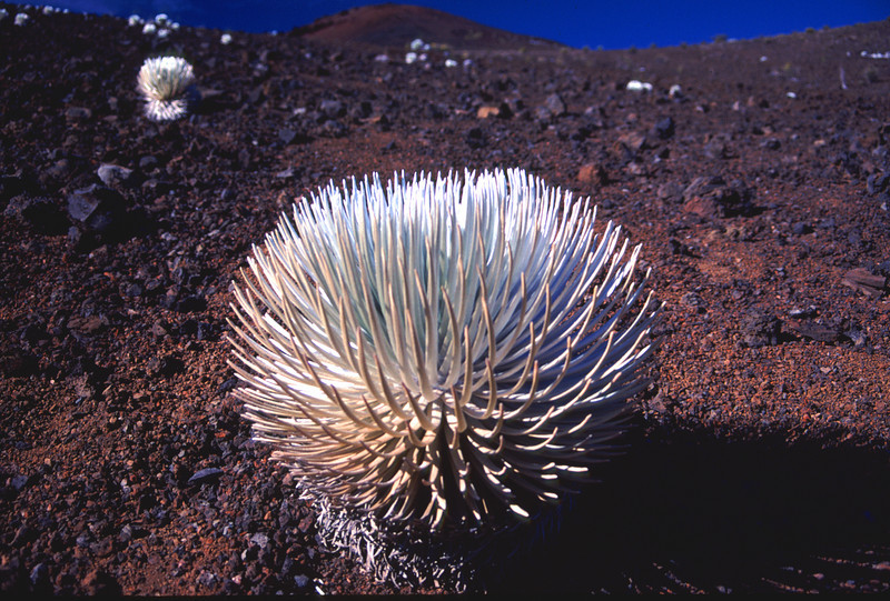 Close up of silversword #HAL2000-7