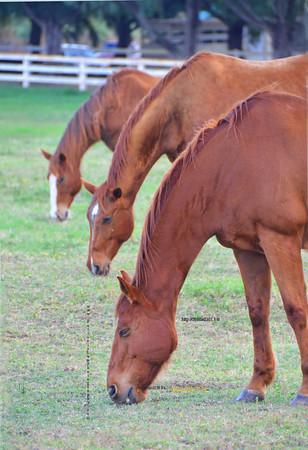 3 horses eating  012212 15