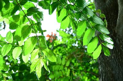 Leaves Haleiwa 072311 28