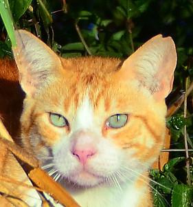 Haliewa cat head 072311 174