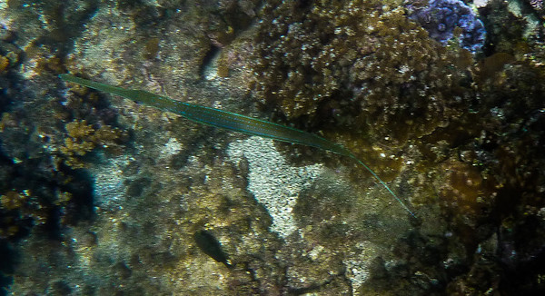 Trumpeter Fish