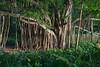 Banyon Tree, Haleakala National Park, Maui, Hawaii