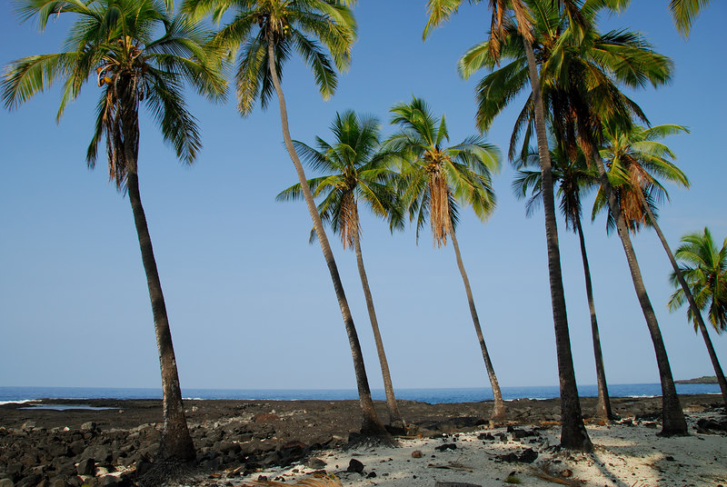 Palm trees along the beach at Pu'uhonua O Honaunau National Historic Park (City of Refuge) on the Big Island of Hawaii