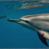 Spinner Dolphin 2