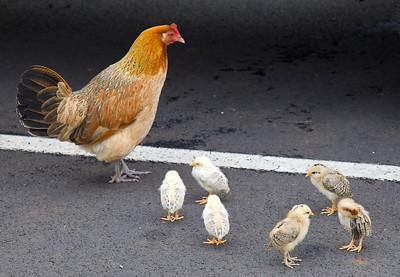 Wild chickens on Kauai, perhaps better called the Chicken Isle