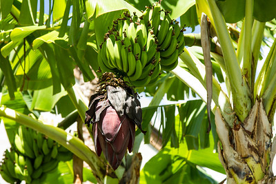 Bananas growing in the parking area of the condo. Maui April 23, 2013