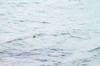 This is not a clear photo, but I only saw this sea turtle pop its head out of the water a few times.  Each time, I barely had enough time to see it through my lens before it went back under the water.  I believe this was the first turtle we saw on our trip, so we were very excited.