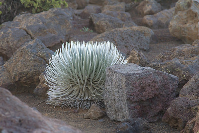 Silversword at Haleakala Crater Maui April 23, 2013
