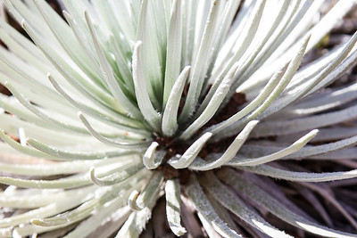 Silversword  Maui April 23, 2013