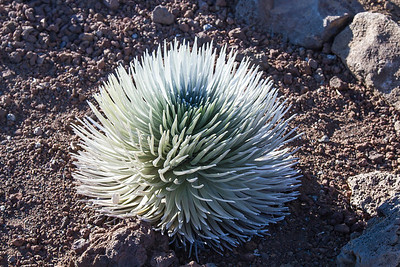 Silversword at Haleakala Crater The Silversword is an endangered plant.  It can live up to 50 years, then blooms only once and dies.  Maui April 23, 2013