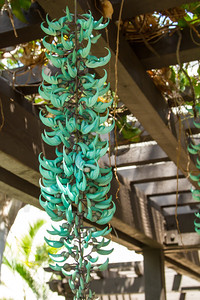 This flower fascinated me.  The shape and color were so unusual.  I still don't know the name of if.  It was growing in a covered walkway at the condo. Maui April 23, 2013