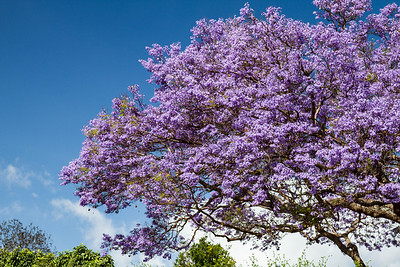 Jacaranda Tree Upcountry of Maui April 23, 2013