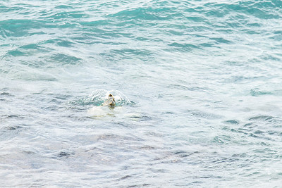 We got a quick glimpse of the turtle's flippers this time. Maui April 22, 2013