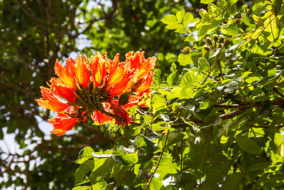 Blooms on African Tulip Tree Iao Valley State Park Maui April 22, 2013