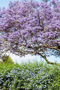 The flowering jacaranda trees were amazing! Upcountry of Maui April 23, 2013