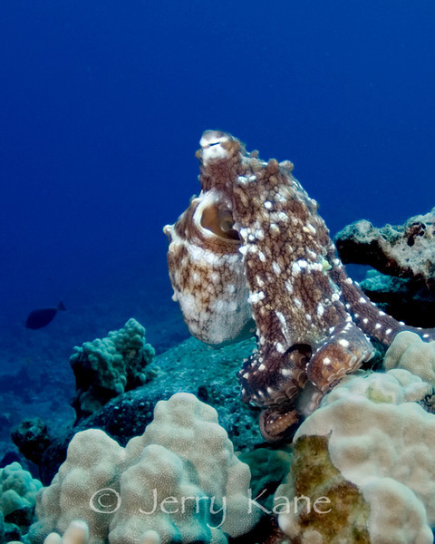 Day Octopus (Octopus cyanea) - Honokohau, Big Island, Hawaii
