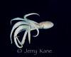 Long Armed Sand Octopus (undescribed) - Honokohau, Big Island, Hawaii