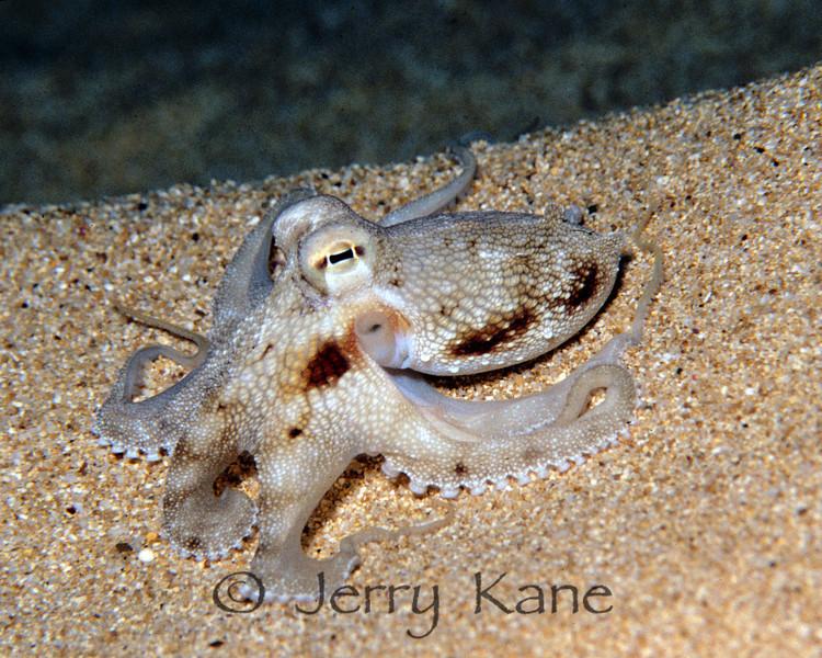 Short-Armed Sand Octopus (Amphioctopus arenicola) - Pupukea, Oahu, Hawaii