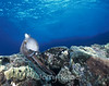 Day Octopus (Octopus cyanea) - Halona Blowhole, Oahu, Hawaii