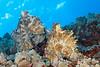 Mating Pair of Day Octopi (Octopus cyanea) - Makako Bay, Big Island, Hawaii