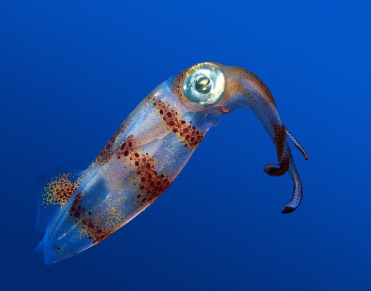 Oval Squid (Sepioteuthis lessoniana) - Oahu, Hawaii  (photo by Barbara Kono)