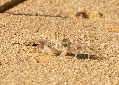Hawaiian Sand Crab