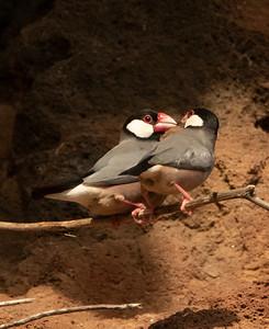 Java Sparrow Love