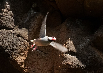 Java Sparrow Nesting High Up on the Cliffs