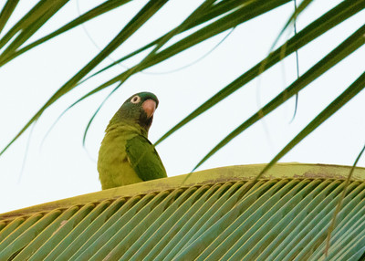 Blue Crowned Parakeets
