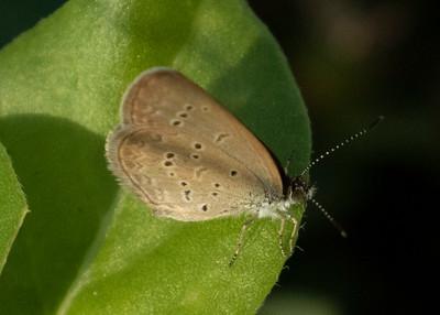Koa Butterfly - The Hawaiian Blue