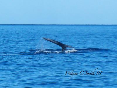 Humpback Whale sounding off Molikini Maui