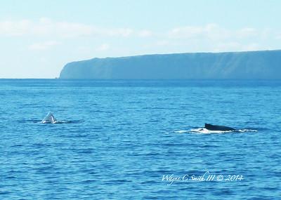 Humpback Whales, Maui