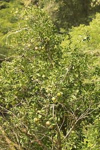 Pomalo Tree