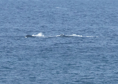 Humpback Whale Mother and Baby