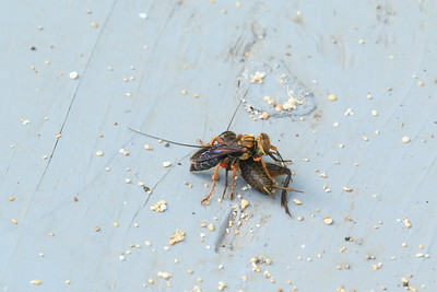 Great Golden Digger Wasp (Sphex ichneumoneus)