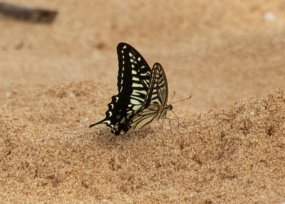Chinese Swallowtail
