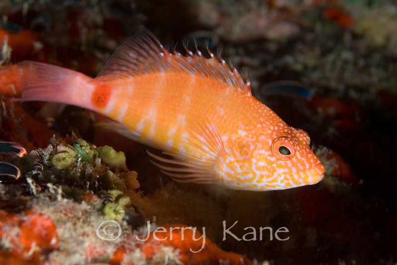 Redbarred Hawkfish (Cirrhitops fasciatus) in light coloration due to living in low ambient light environment - Deep Reef off Red Hill, Big Island, Hawaii