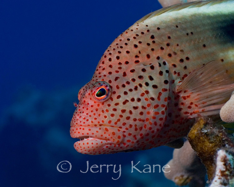 Blackside Hawkfish (Parracirrhites fosteri) - Big Island, Hawaii