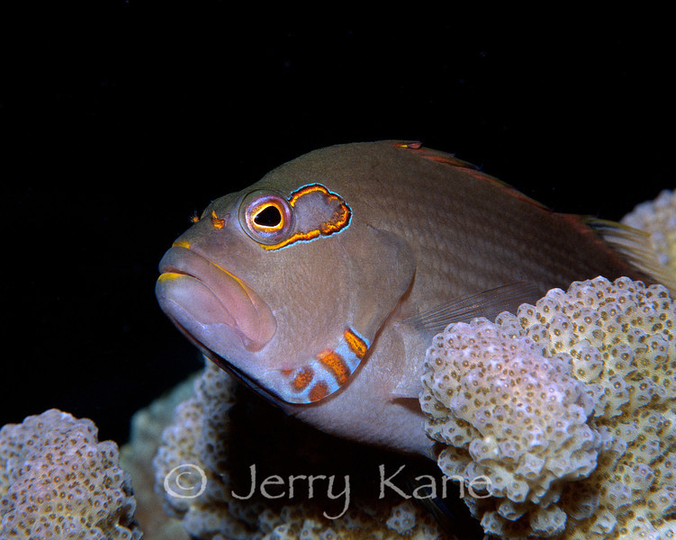 Arc-Eye Hawkfish (Paracirrhites arcatus) - Oahu, Hawaii