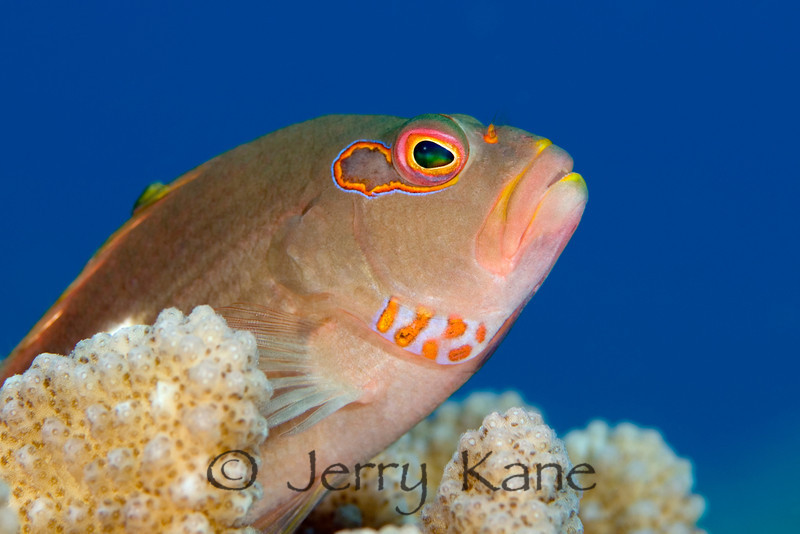 Arc-Eye Hawkfish (Paracirrhites arcatus) - Pebble Beach, Big Island, Hawaii