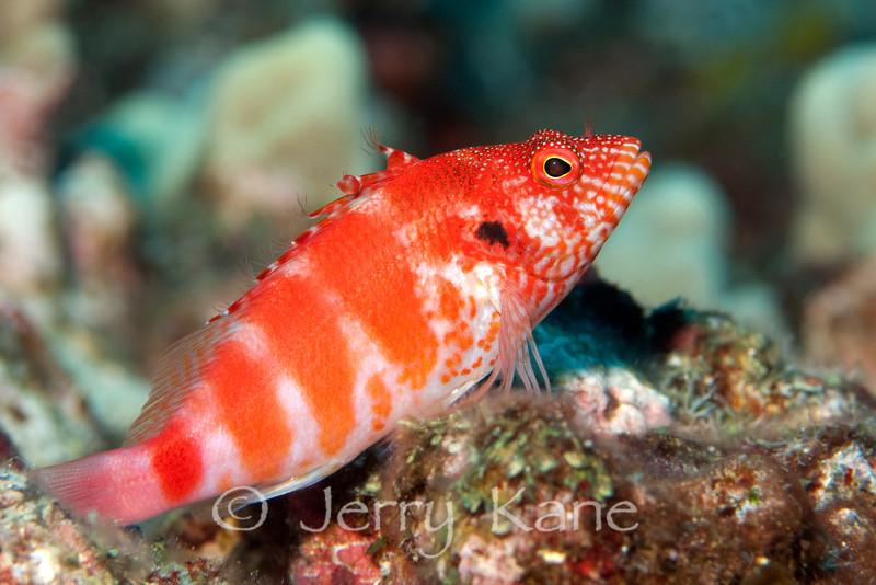 Redbarred Hawkfish (Cirrhitops fasciatus) - Kaohe Bay, Big Island, Hawaii