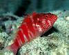 Redbarred Hawkfish (Cirrhitops fasciatus) - Oahu, Hawaii