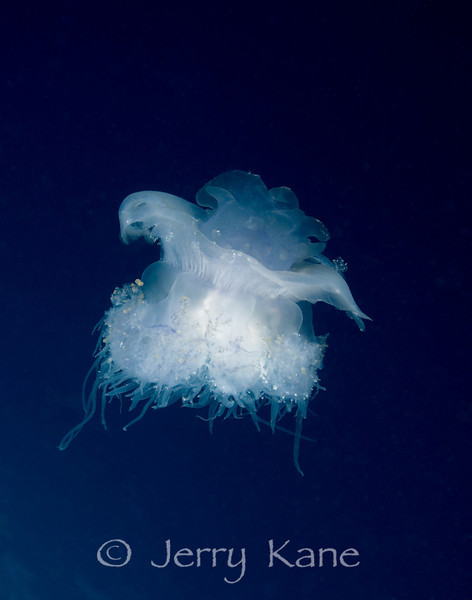 Crowned Jellyfish (Cephea cephea) - Shark Ridge, Big Island, Hawaii