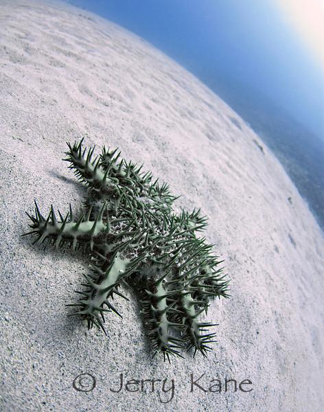 Crown-Of-Thorns Sea Star (Acanthaster planci) - Keauhou Bay, Big Island, Hawaii